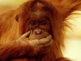 Китайскому примату грозит скорая пересадка головы