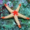Морские звезды умеют выдавливать из себя инородные тела