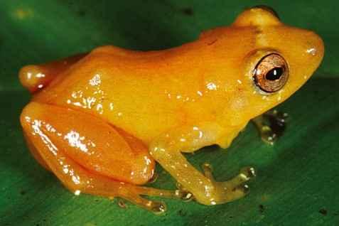 Ученые обнаружили новейший вид лягушек Diasporus citrinobapheus