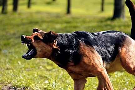 Почему некоторые люди предпочитают агрессивных собак