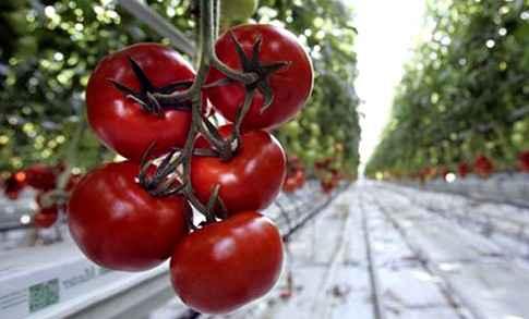 Ученые полностью расшифровали геном томатов