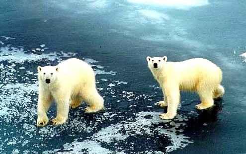 Белые медведи оказались почти в десять раз древнее
