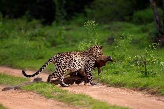 История леопарда в одном снимке