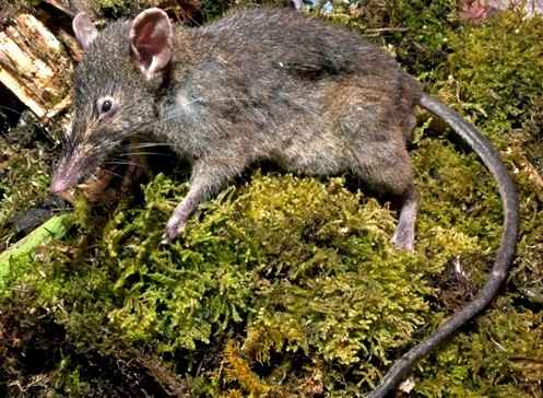 Ученые обнаружили крысу без зубов