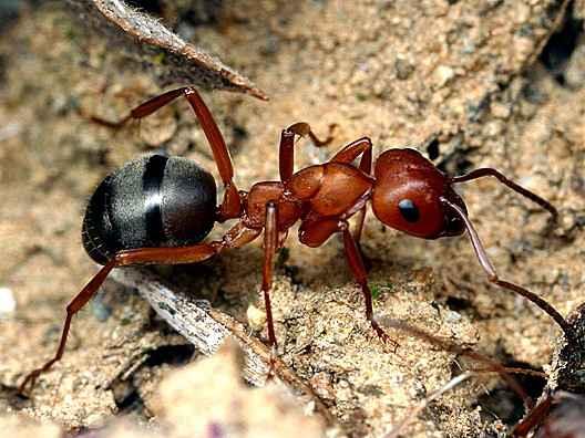 Ученые намерены установить маленькие датчики на охраняемые виды муравьев