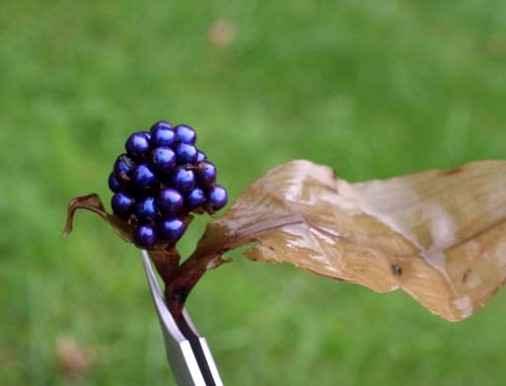 Самая необычная и блестящая ягода в мире