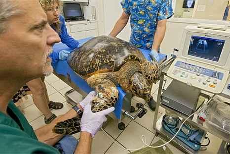 В США ветеринары пытаются спасти редкую морскую черепаху