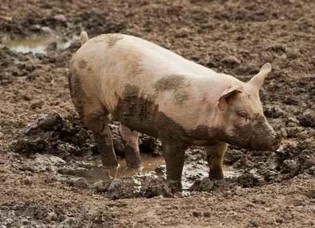 Свиньи ярмарки - смертельный риск заражения