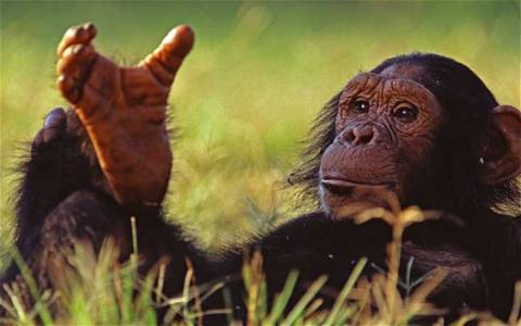 Шаг назад во времени, или Почему многие из нас ходят, как шимпанзе