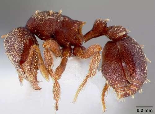 Энтомологи обнаружили несколько видов муравьев-монстров