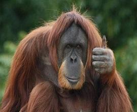 argentina-orangutang